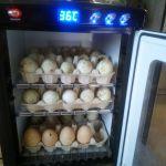 50 vajec v inkubátoru od indických běžců